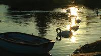 Svan och ankor i sjön