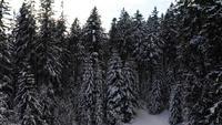 Vliegen naar besneeuwde bomen in 4K
